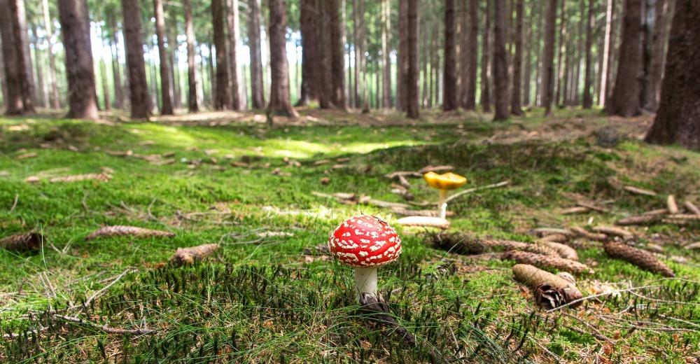 Mushroom in forest.jpg